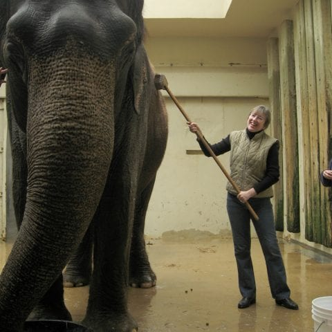 cleaning an elephant